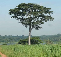 Iroko (Milicia excelsa) with IITA lake and Forest Reserve in background (Credit: Deni Bown)